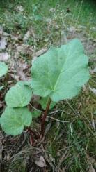 Rabarberplanta(450x800)