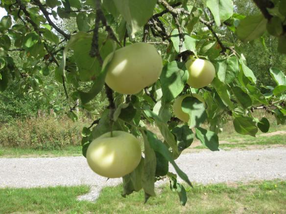 Äpple på träd 1